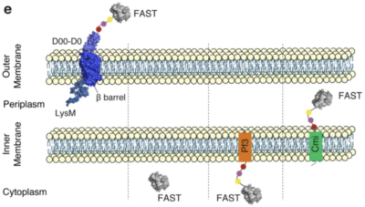 bacterial protein export and FAST
